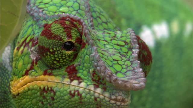 Swivelling eyes of Panther chameleon (Furcifer pardalis) on branch, Madagascar