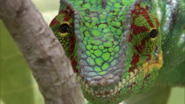 swivelling eyes of panther chameleon (furcifer pardalis) on branch, madagascar - animal eye stock videos & royalty-free footage