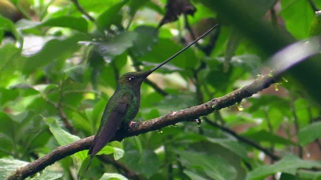 sword-billed hummingbird, andes, ecuador - sword stock videos & royalty-free footage