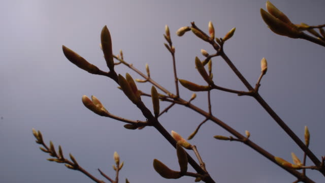 Sycamore leaf buds open against a blue sky. Available in HD.