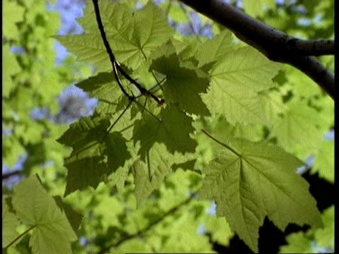 vidéos et rushes de cu sycamore leaves, presque isle, usa - arbre à feuilles caduques