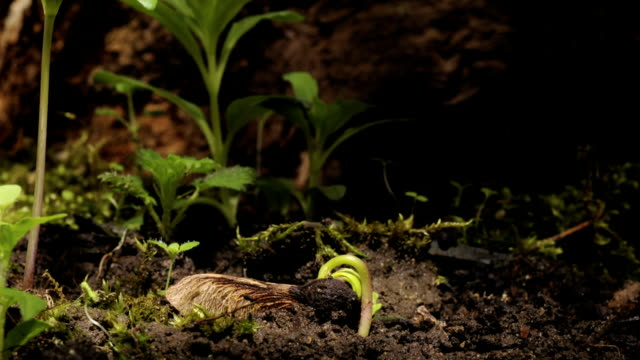 vídeos de stock e filmes b-roll de sycamore seedling, timelapse - seed