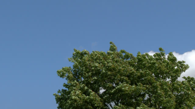 Sycamore tree blowing in the wind