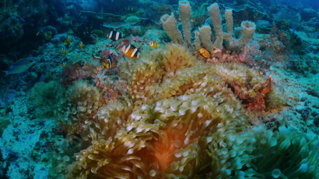 symbiotic behavior, sea anemone and clown fish - soft coral stock videos & royalty-free footage