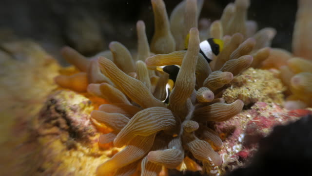 Symbiotic mutualistic relationship of sea anemone and clown fish