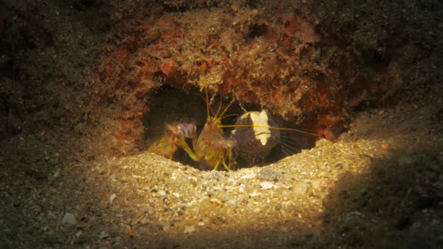 symbiotic relationship of goby fish and pistol shrimp - pistol stock videos and b-roll footage