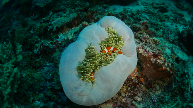 symbiotic relationship, sea anemone and clown fish - sea anemone stock videos & royalty-free footage