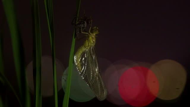 vidéos et rushes de sympetrum iginfuscatum hanging from leaf, gangwon province, south korea - aile d'animal