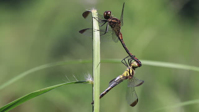 sympetrum infuscatum (dragonfly) mating - two animals stock videos & royalty-free footage
