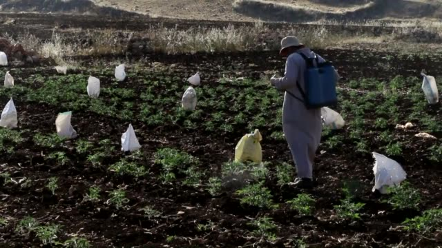 syrian farmers try to combat locust infestation which causes damage to crops in the agricultural lands in a rural area of idlib syria on may 14 2016 - infestation stock videos & royalty-free footage