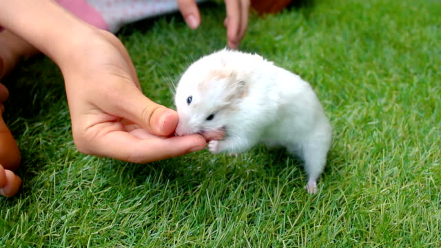 syrian hamster eating from a child's hand outdoors - pet owner stock videos & royalty-free footage