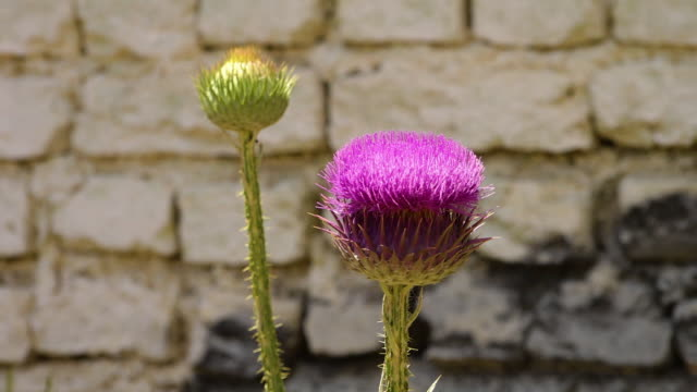 syrian thistle against a brick wall - thistle stock videos & royalty-free footage