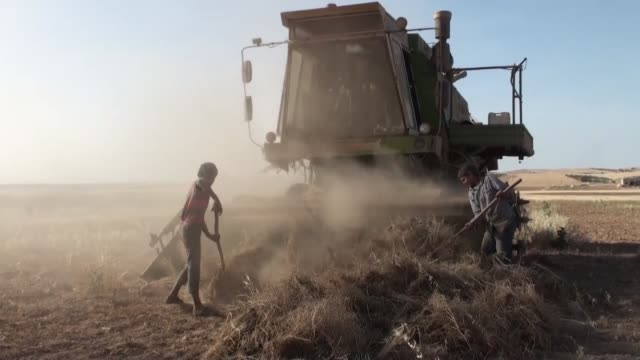 Syrians harvest wheat in fields at districts of Aleppo which seized from DAESH during Operation Euphrates Shield on May 19 2017 Operation Euphrates...