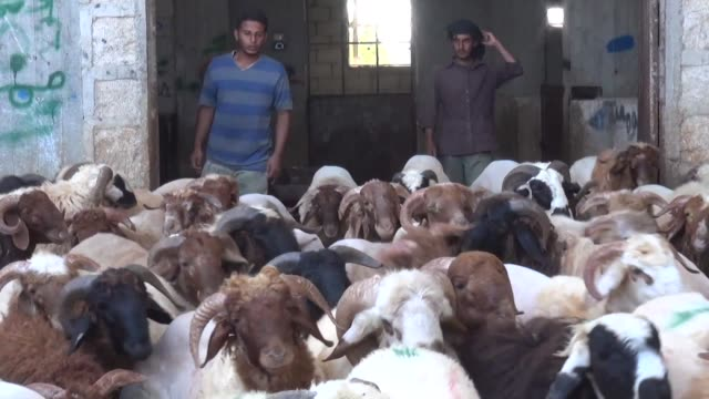 syrians in rebel held territory prepare for eid al-adha the islamic festival marking the end of the hajj: they buy a sheep to be sacrificed food... - sheep stock videos & royalty-free footage