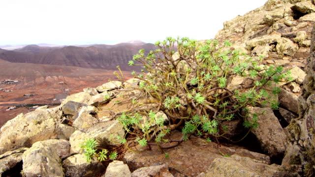 Tabaibas in Mountain Slope - Fuerteventura