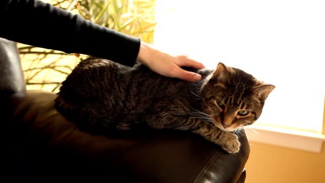 Tabby Cat Getting Pet