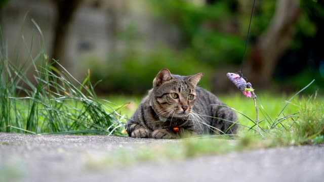 slo mo tabby cat ignore to play with toy in nature - pet owner stock videos & royalty-free footage