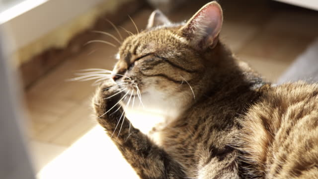 tabby cat licking paw - grooming stock videos & royalty-free footage
