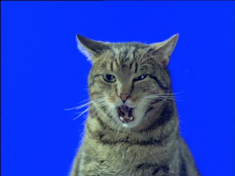 stockvideo's en b-roll-footage met tabby cat licks mouth - likken