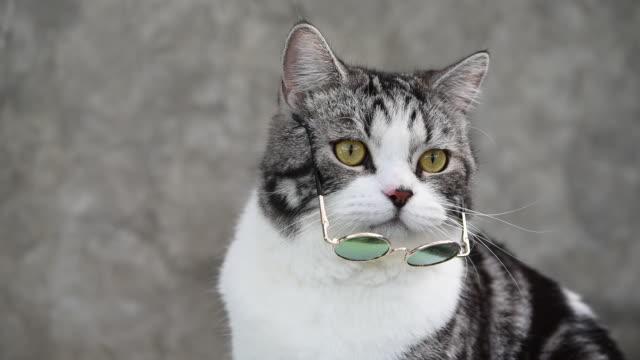 vidéos et rushes de tabby chat mélangé shorthair américain et persan portant des lunettes de soleil s'asseoir au pot d'argile de cactus - cactus pot