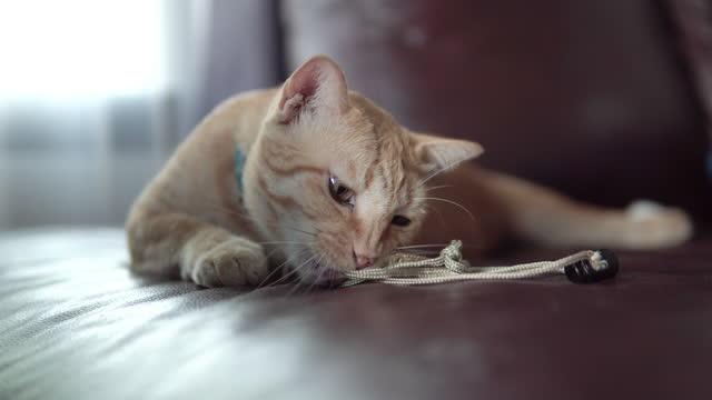 ソファで遊ぶタビー猫。 - ショートヘア種の猫点の映像素材/bロール
