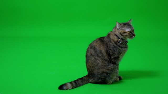vídeos de stock e filmes b-roll de tabby cat - dois animais