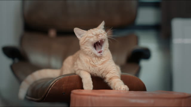 tabby cat yawning - yawning stock videos & royalty-free footage