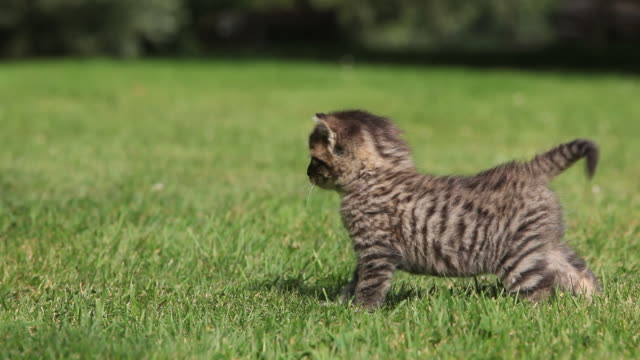 Tabby kitten running on grass