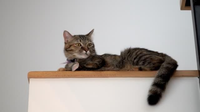 トラ猫 - 雑種のネコ点の映像素材/bロール