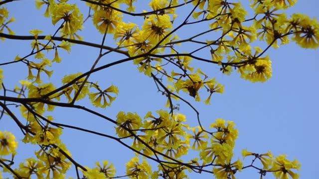 vídeos y material grabado en eventos de stock de tabebuia chrysantha - monocultivo