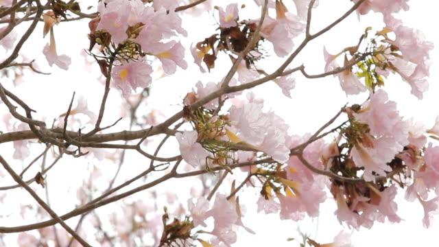 tabebuia かわいらしいピンクの花が満開です。 - 水泳パンツ点の映像素材/bロール