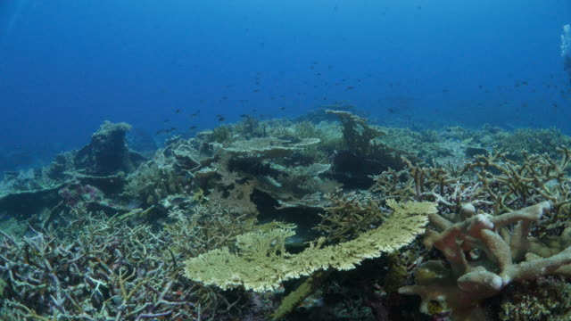 Table Coral and Leaf Coral colony close to volcano island