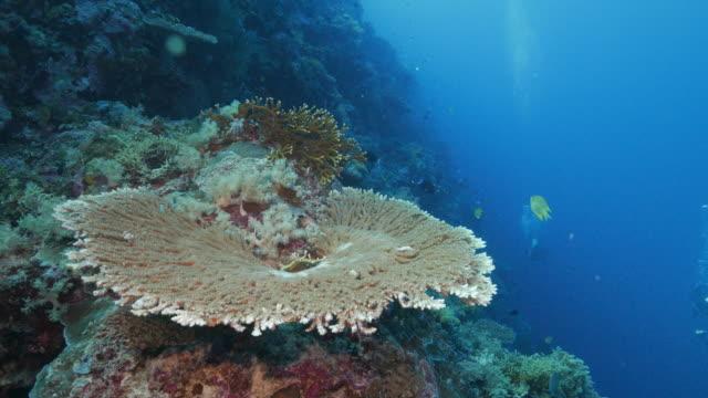 Table coral top undersea (4K)