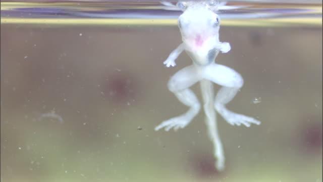 vídeos y material grabado en eventos de stock de tadpoles (microhyla sp.) and crab (geosesarma sp.) in pitcher plant urn, borneo - planta pitcher