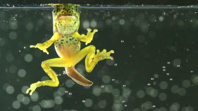 vídeos de stock e filmes b-roll de tadpoles - sapo