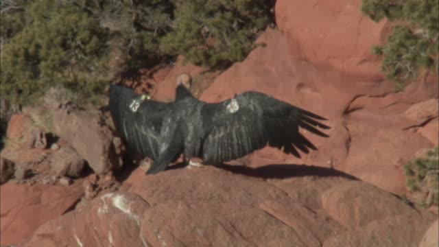 tagged california condor suns itself in heat haze - california condor stock videos and b-roll footage