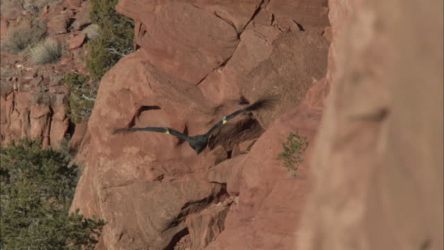 tags on wings of california condor in flight - california condor stock videos and b-roll footage