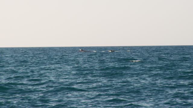 tail and fin of a whale on sight - fin whale stock videos & royalty-free footage