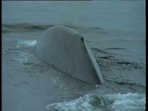 Tail fluke of Blue Whale, California