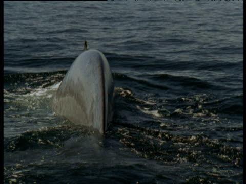 vídeos de stock, filmes e b-roll de tail fluke of blue whale, sea of cortez - baleia azul