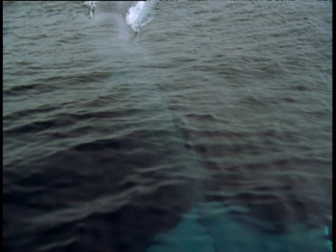 Tail of Blue Whale visible underwater, tilt up to show whale surfacing some distance away, California