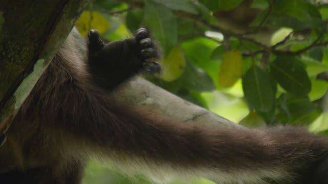 "stockvideo's en b-roll-footage met ""tail of geoffroy's spider monkey (ateles geoffroyi) in forest, calakmul, mexico"" - staartjes"