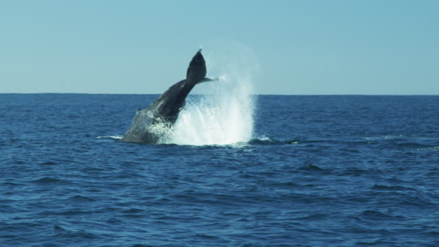 tail of humpback whale fluke pacific ocean monterey - buckelwal stock-videos und b-roll-filmmaterial