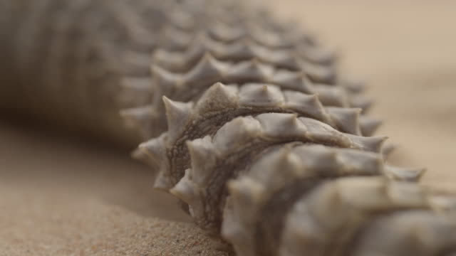tail of spiny tailed lizard (uromastyx aegyptia) resting on desert sand, uae - sharp stock videos and b-roll footage
