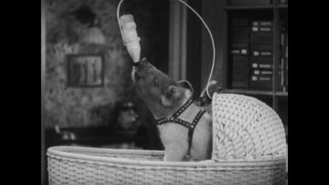 1934 tailor sings enthusiastically and talks to pig as he steam presses laundry - slapstick stock videos & royalty-free footage