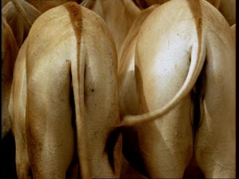 BCU Tails of wild ass swishing, away from camera, Gujarat, India