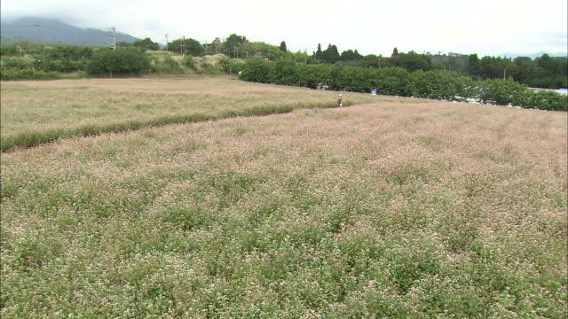 takane ruby red buckwheat flowers bloom in a broad field. - buckwheat stock videos & royalty-free footage