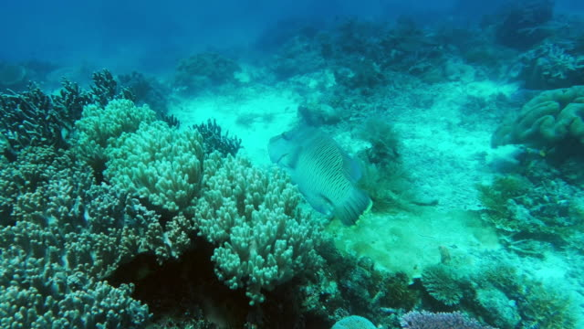 take a dive and discover a new world - humphead wrasse stock videos & royalty-free footage