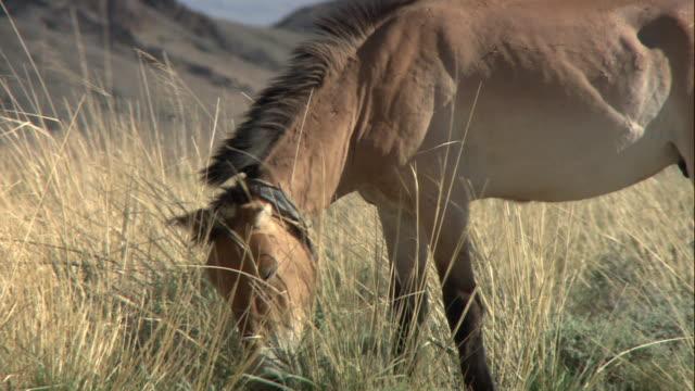 ha takhi horse grazing on an empty plain / mongolia - przewalskihäst bildbanksvideor och videomaterial från bakom kulisserna