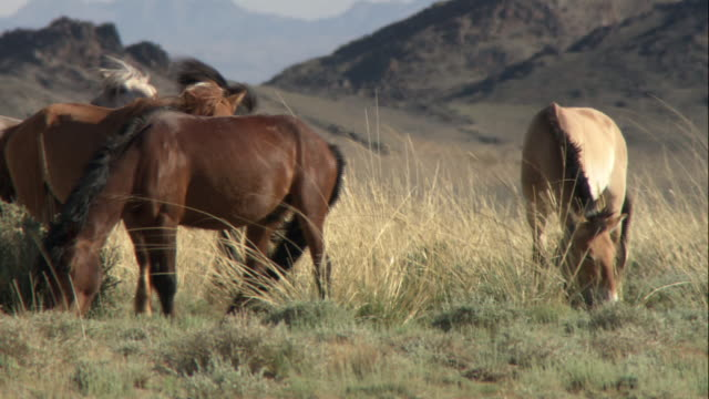 ws takhi horses grazing on an empty plain / mongolia - przewalskihäst bildbanksvideor och videomaterial från bakom kulisserna
